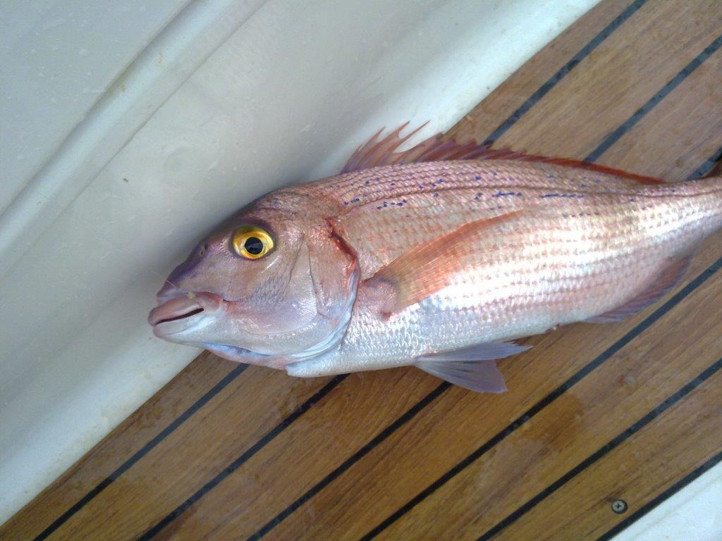 pesca pagel desde barco