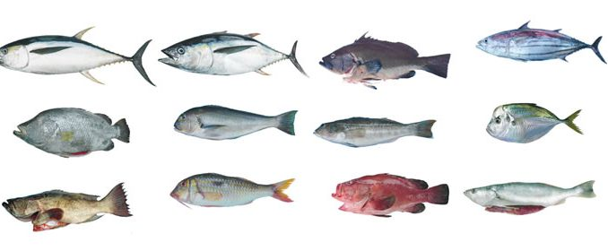 Pez comun en los mares de espa a chungcuso3luongyen for Variedad de peces