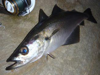 pesca abadejo