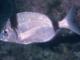 mojarra-vidriada-variada