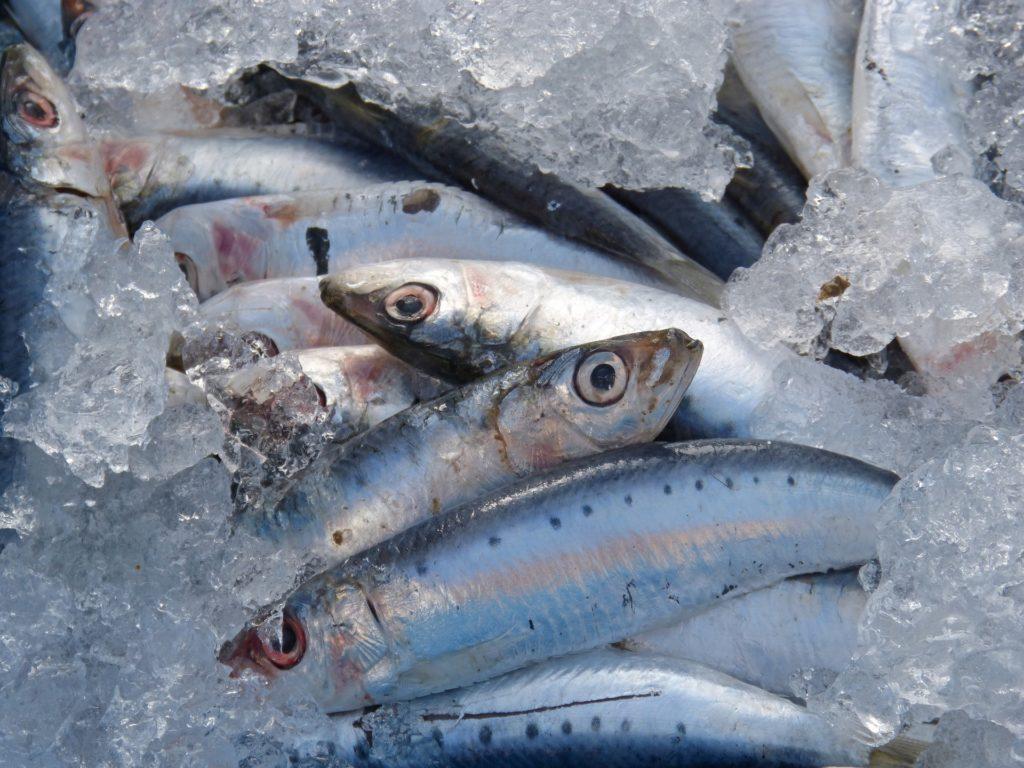 Carnada de sardinas